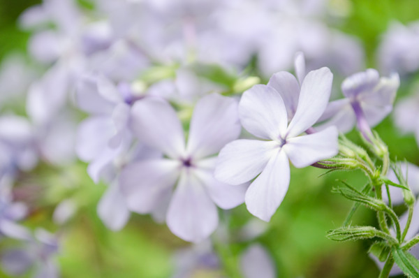Soft Focus Phlox Carolina Limited Edition Signed Fine Art Nature Photograph by Melissa Fague