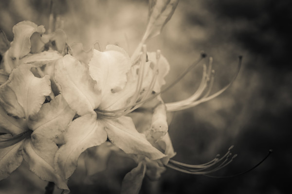 Sepia Aged Rhododendron Blooms Limited Edition Signed Fine Art Nature Photograph by Melissa Fague