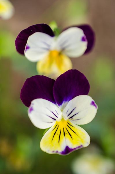 Pretty Little Violets Limited Edition Signed Fine Art Nature Photograph by Melissa Fague