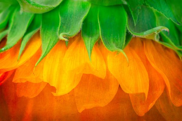 Sunflower Abstract Brilliant Color|Wall Decor fleblanc