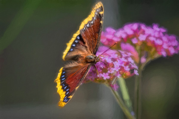 Butterfly Flower Monarch Macro Bald Golden Eagle Predator Bird of Prey fleblanc