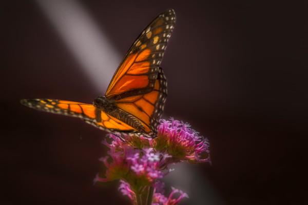 Heavenly Monarch Butterfly Light Flower|Wall Decor fleblanc