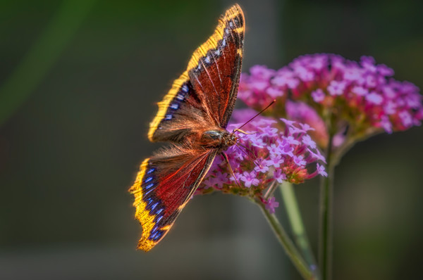 Butterfly Flower Summer Sunshine Beauty|Wall Decor fleblanc