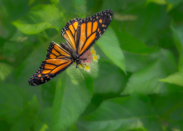 Monarch Butterfly Green Flower Close Up|Wall Decor fleblanc
