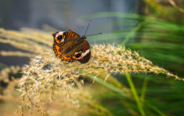 Butterfly Skipper Colorful Visitor|Wall Decor fleblanc