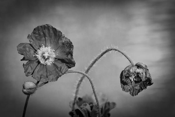 black and white dream poppy fine art print