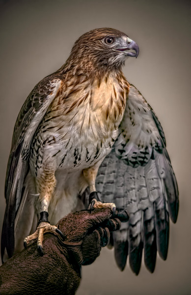 Red Shouldered Hawk Predator Falcon|AWall Decor fleblanc