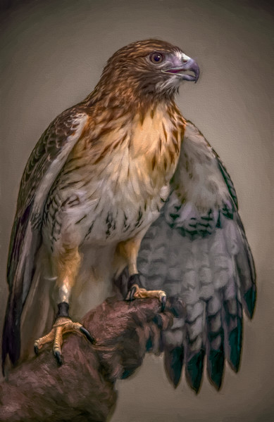 Red Shouldered Hawk Carnivore Decor|Wall Decor fleblanc