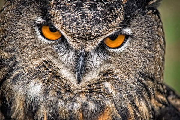 Great Horned Owl Piercing Eyes Predator|Wall Decor fleblanc
