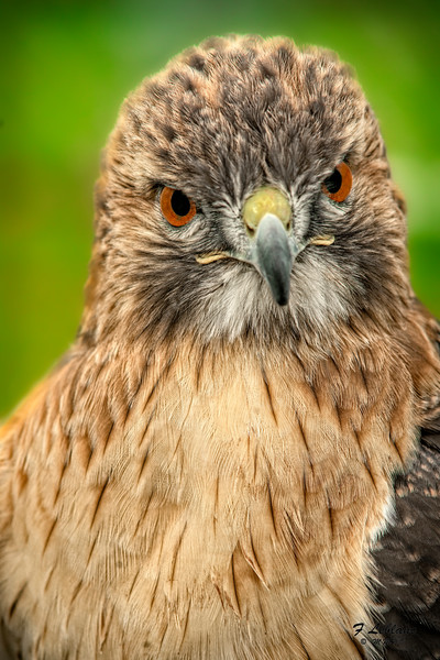 Red Shouldered Hawk Head Close Up|Wall Decor fleblanc