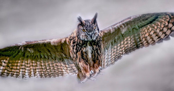 Great Horned Owl In Flight Bird Of Prey|Wall Decor fleblanc