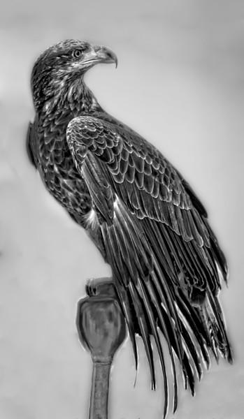 Young Golden Eagle Bird Of Prey  Decor|Wall Decor fleblanc