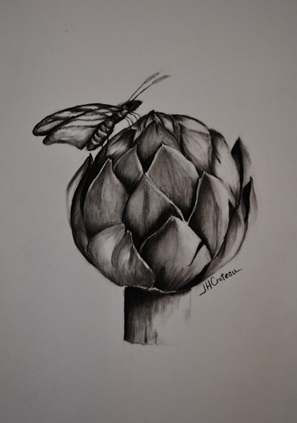 Charcoal drawing of moth on an artichoke, fine art prints of this lovely charcoal painting.