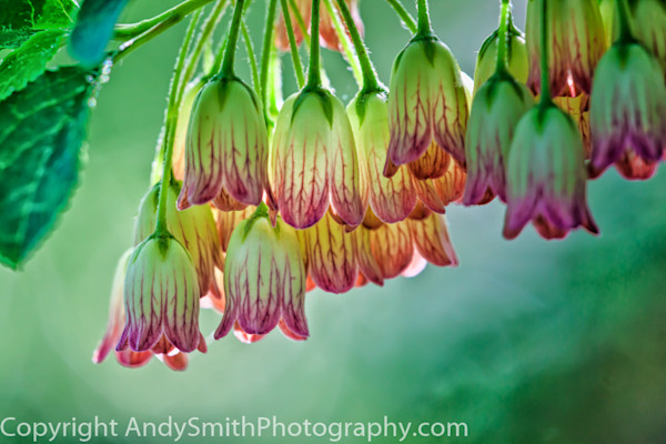 fine art photograph of pieris species