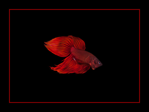 """Red on Black"", Fine Art Print by Rebecca Benezue"