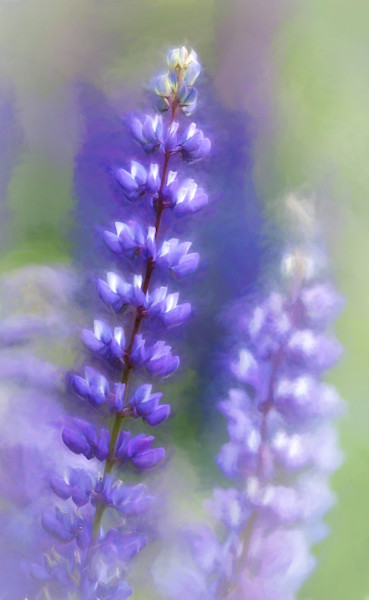 Lupine Pastel photograph