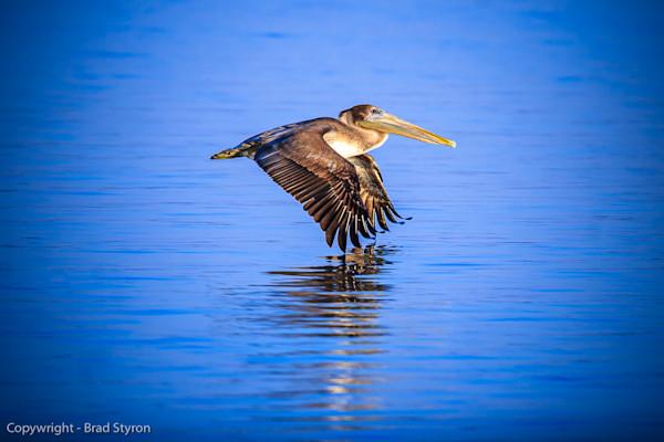 Fine Art Bird Photograph   Brad Styron Photography