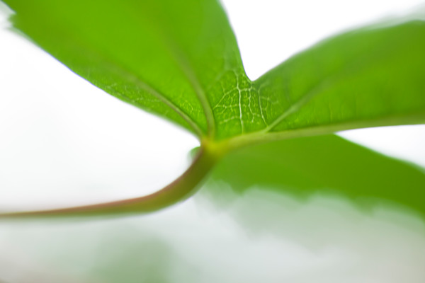 Green Leaf botanical photography