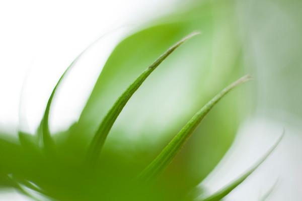 Green Bud Botanical Photography