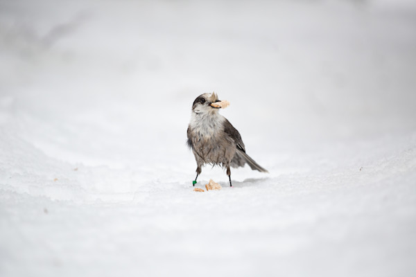 Gray Jay eating