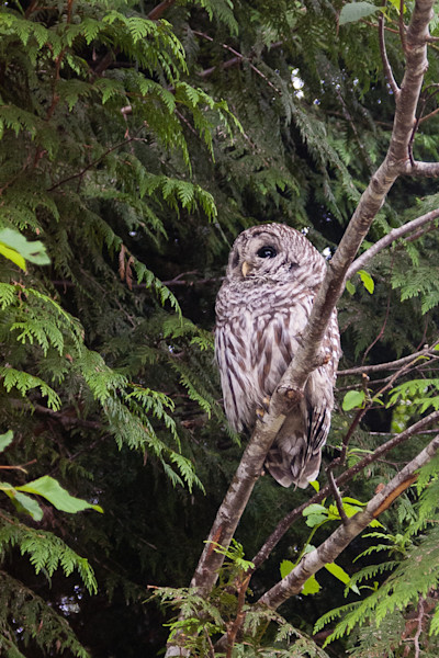 Barred owl in Pacific Rim National Park Reserve