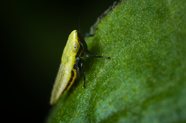 Sharpshooter leafhopper #1