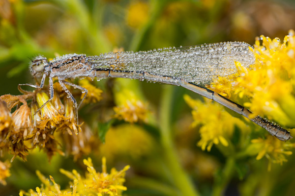 Marsh bluet covered in dew