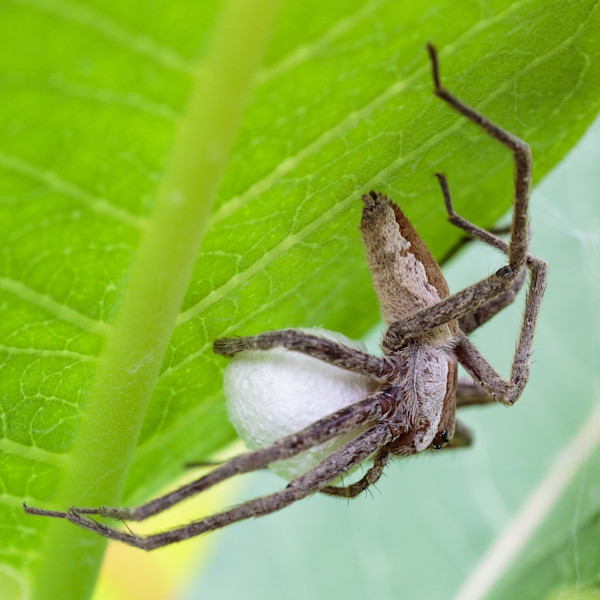 Nursery web spider #1