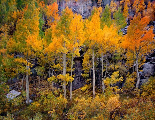Tyee Autumn Aspens