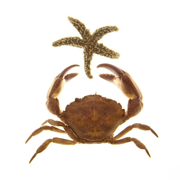 crab-starfish