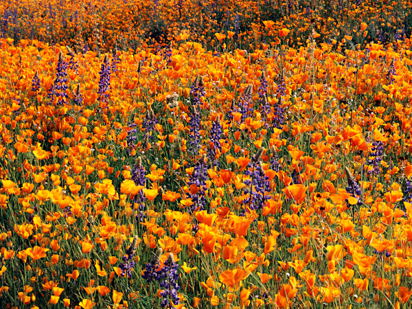 Poppys and Lupine