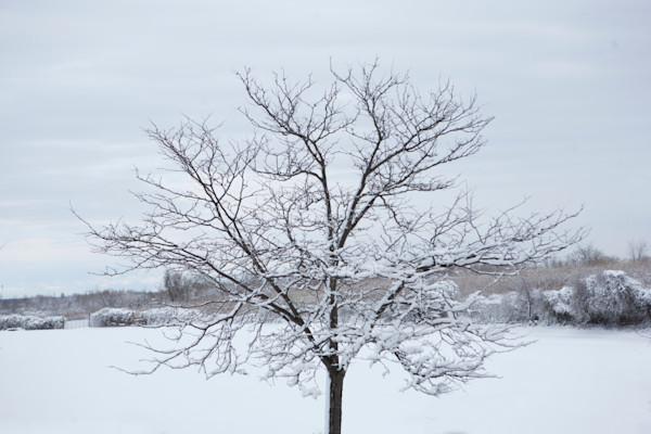 Tree in Snowfall