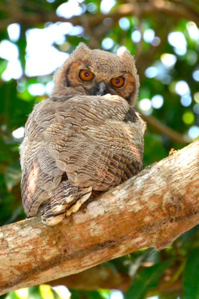 Batman Owl, Long Eared baby Owl, Brazil, by Robert Ross, Limited Edition Print