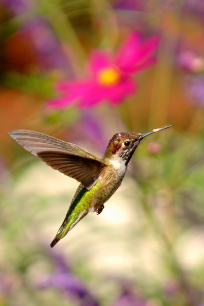 Caught in Flight, Anna's Hummingbird, San Juan Capistrano, CA