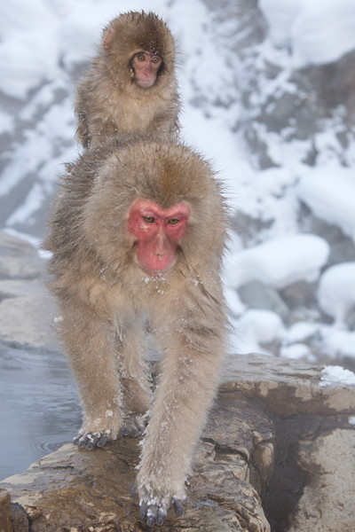 Along for the Ride, Snow Monkey, Japan, by Robert Ross, Limited Edition Print