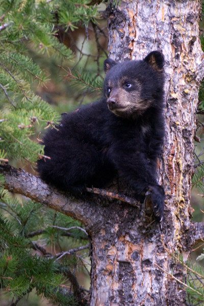 Black Bear Cub in Tree, Yellowstone National Park, WY, by Robert Ross, Limited Edition Print