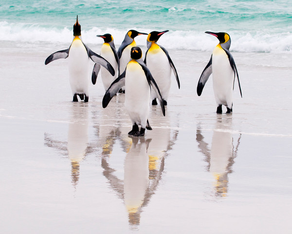 After a Good Swim, King Penguins, Falkland Islands by Robert Ross, Limited Edition Print