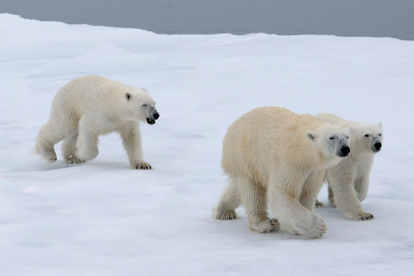 Arctic Ice flow, Polar Bear mother with 2 older cubs hunting, by Robert Ross, Limited Edition Print