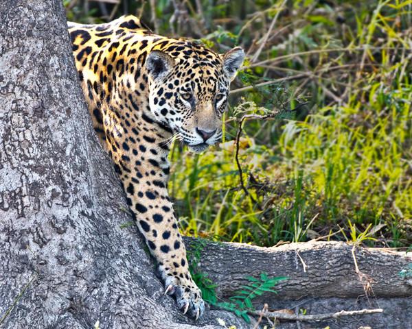 Best Foot Forward, Jaguar, Pantanal, Brazil, by Robert Ross, Limited Edition Print