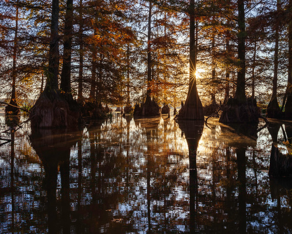 Cypress Forest Morning