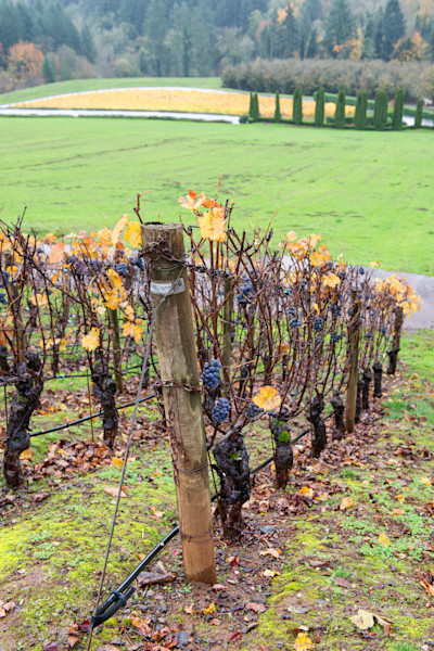 Fall Grape Vines (161616LSND8) Photograph for Sale as Commercial Product or Digital Licensing Only