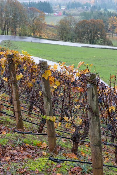 Fall Grape Vines III (161618LSND8) Photograph for Sale as Commercial Product or Digital Licensing Only