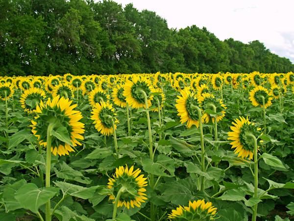 Backside view--Kansas sunflower