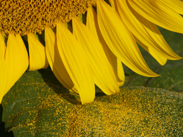 Sunflower and Pollen close-up