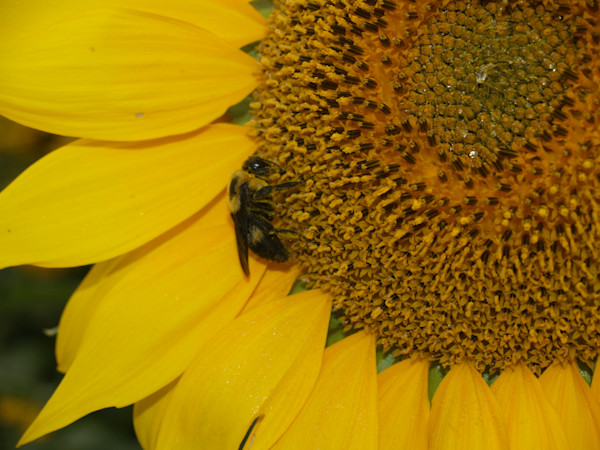 Sunfllower and Honeybee--Kansas state flower and insect