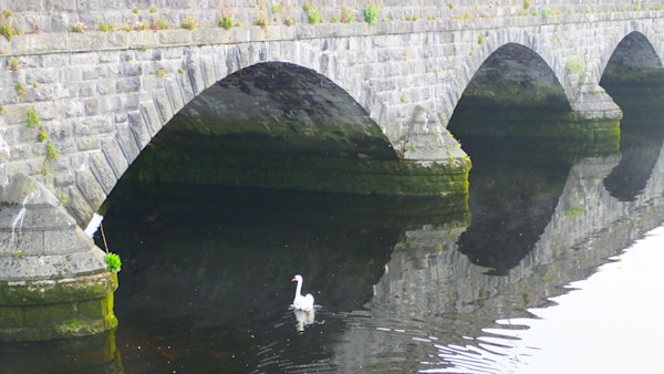 Duck in Reflected Arch