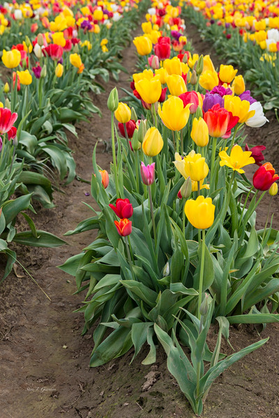Tulip Rows (161620NWND8) Photograph for Sale as Commercial Product or Digital Licensing Only
