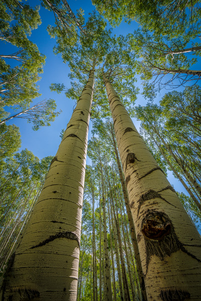 Photograph Looking Skyward at Colorado Aspen Trees