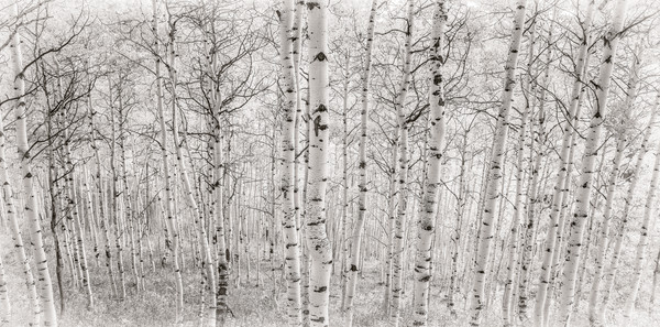 B&W Photo of Aspen Trees in Crested Butte Colorado