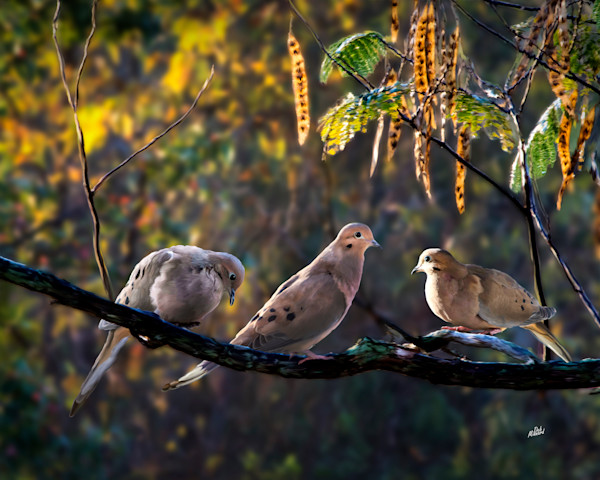 Doves on branch